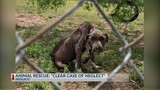 Dog With Broken Jaw, Emaciated Receiving Medical Care, Charges Pending Against Owners